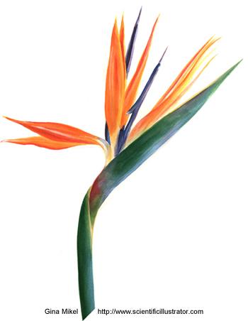 Birdofparadiseflower